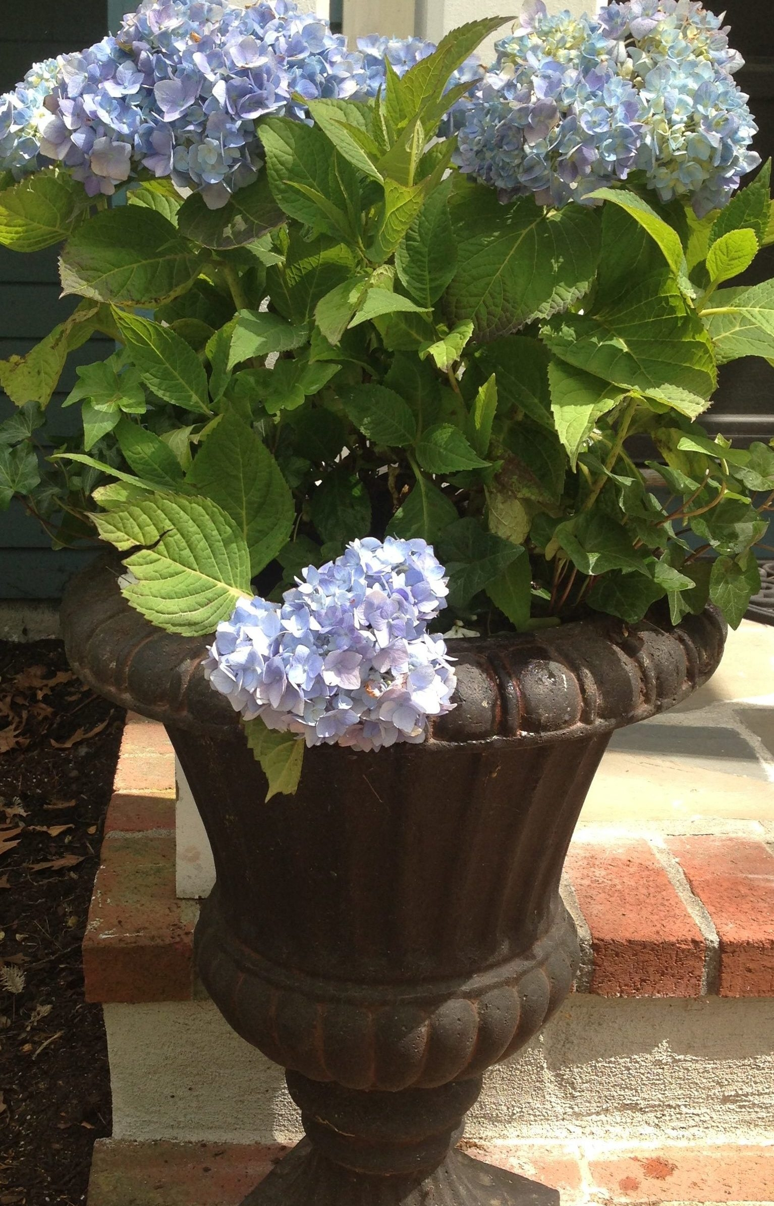 urns with endless summer variety of hydrangeas