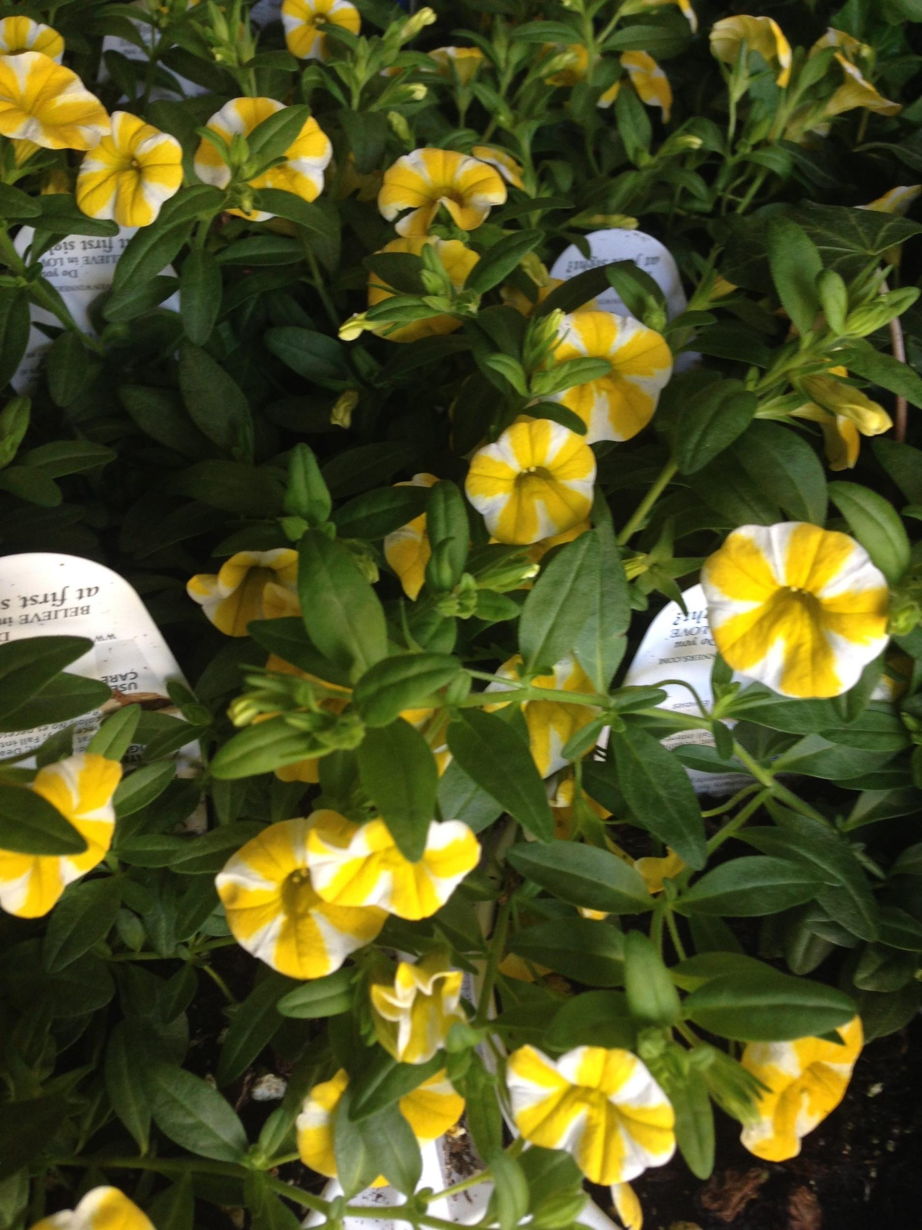 miniature petunias