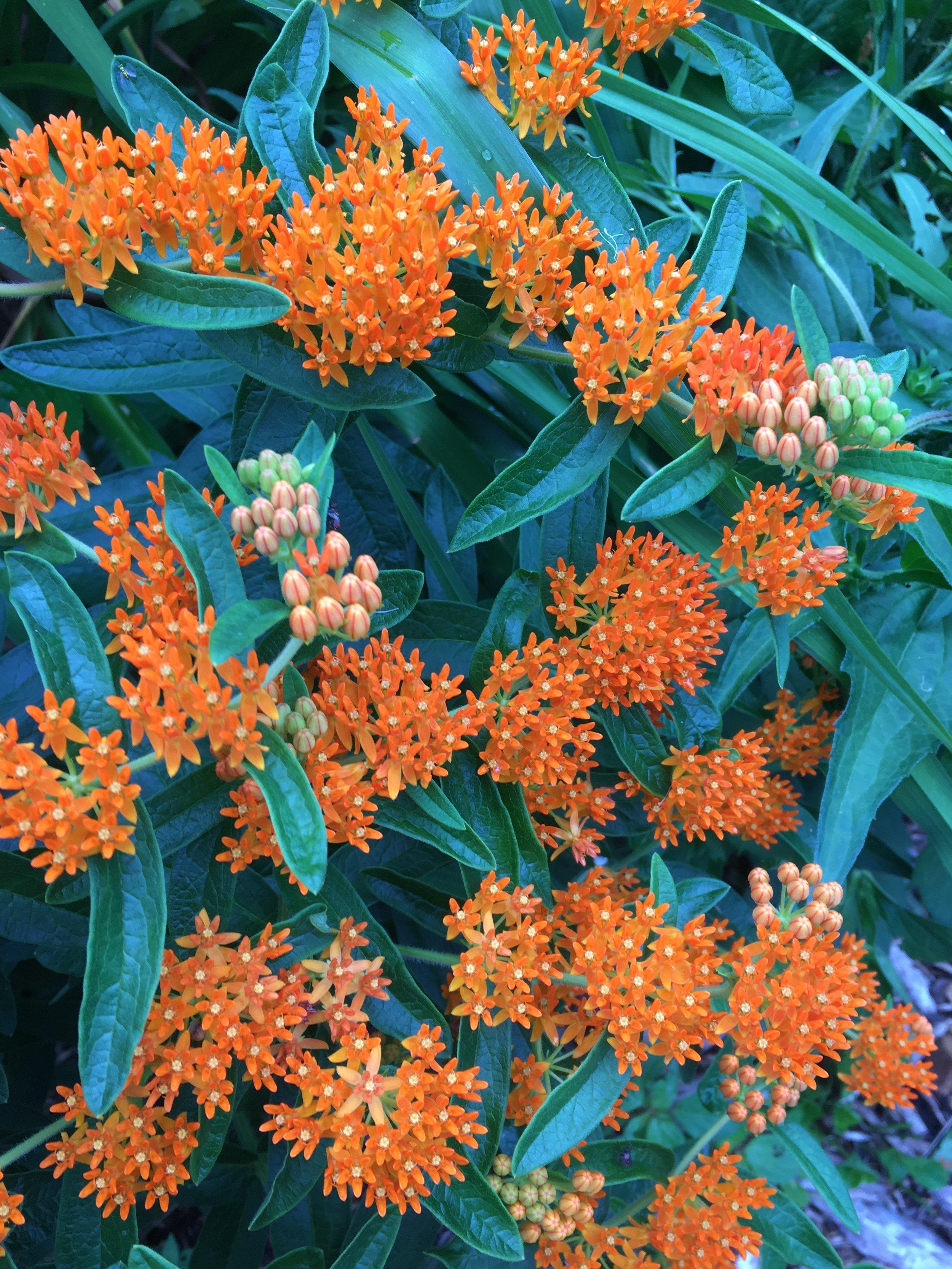 Orange flowers against blue green shiny leaves