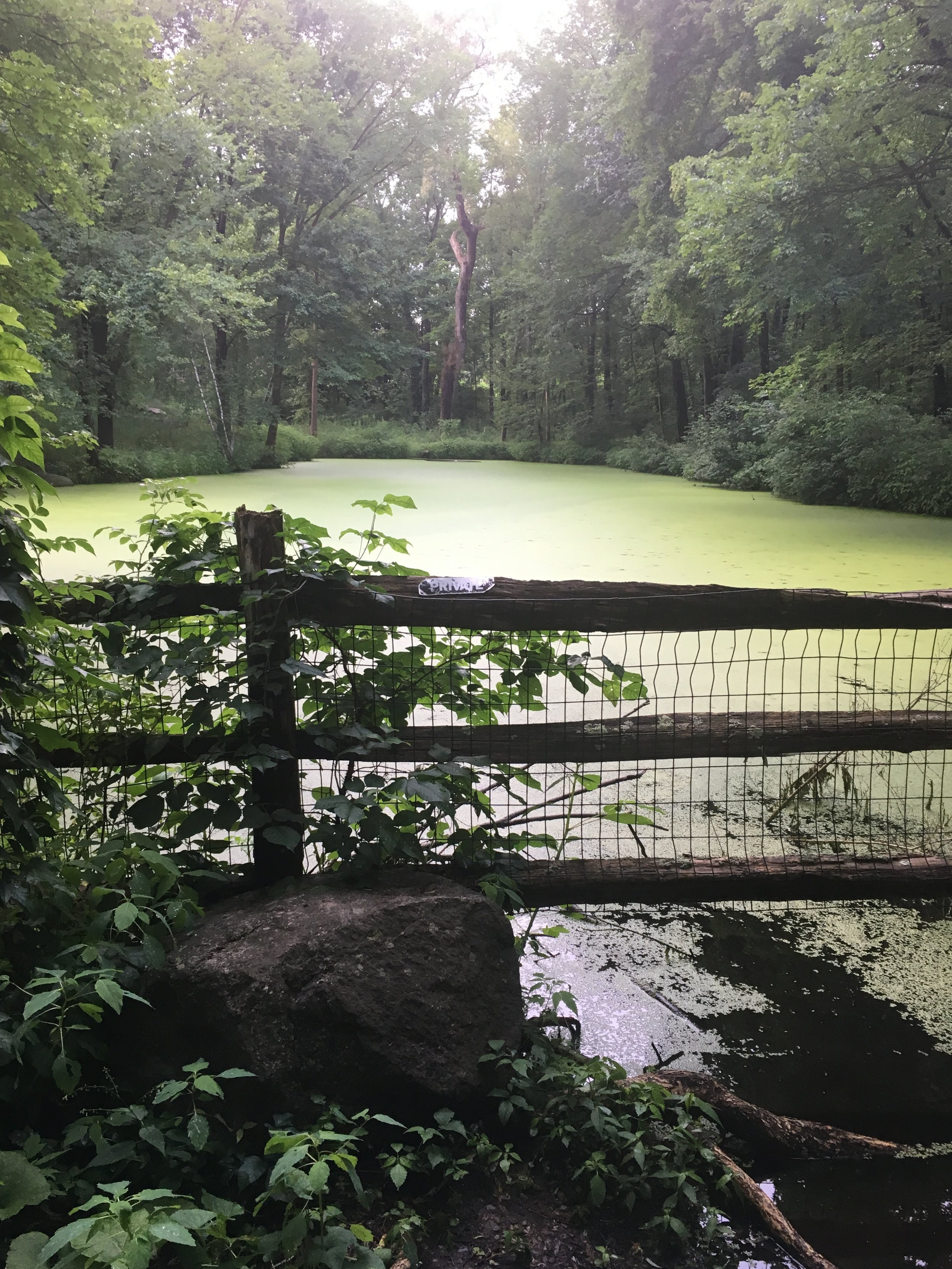 one of the ponds covered in leaves of tiny yellow-green duckweed during the summer