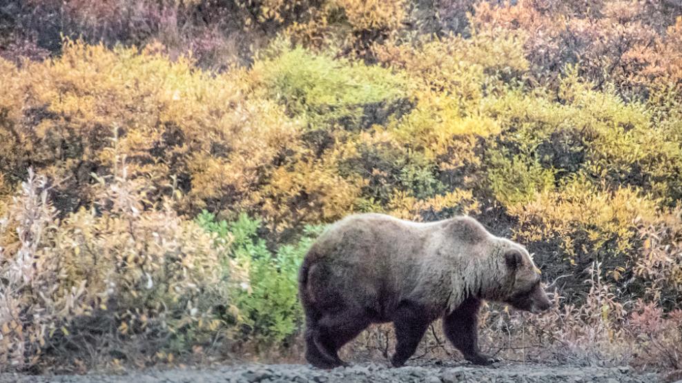 The Brown Bear aka Grizzly Bear!