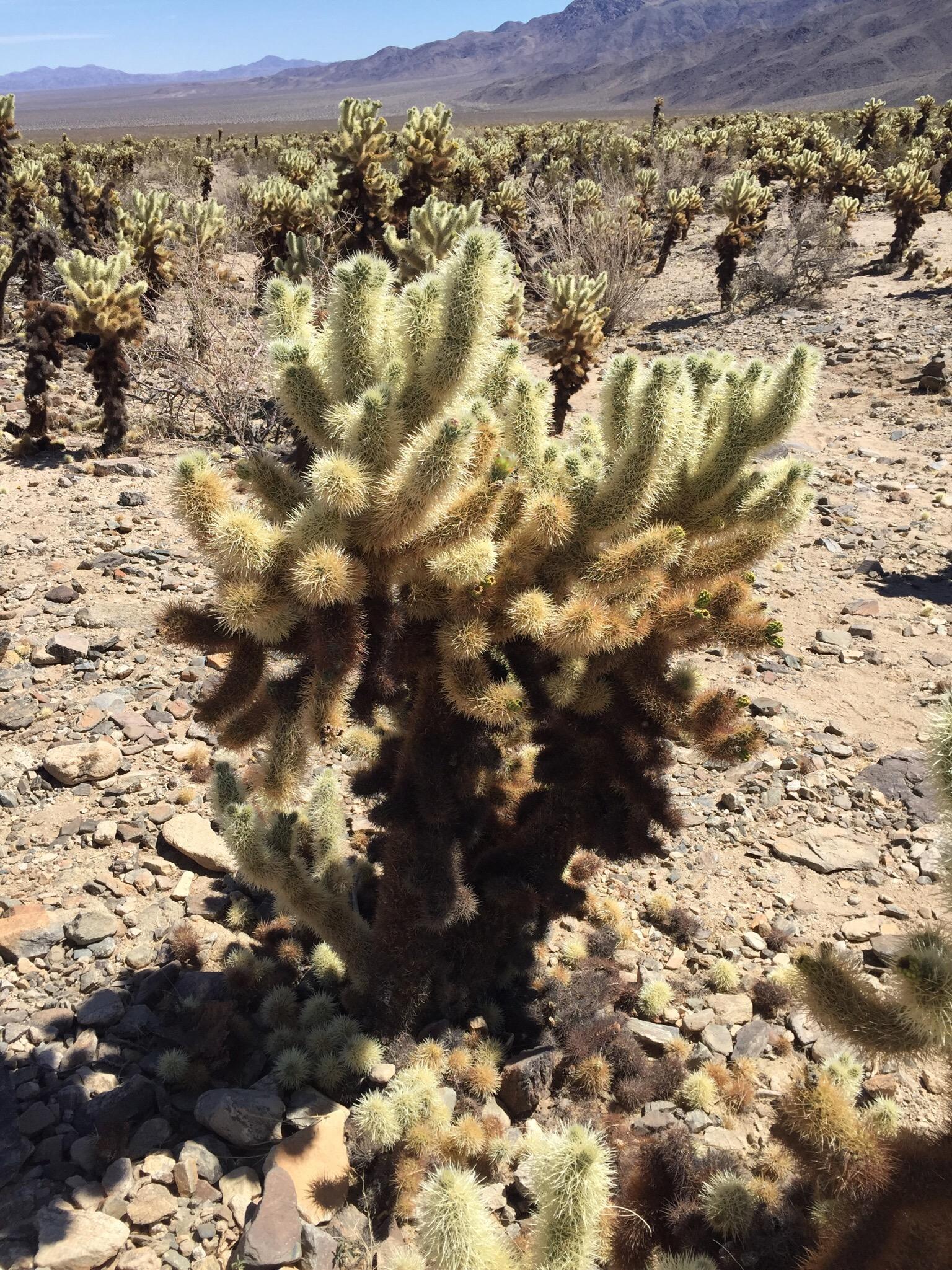 Cholla Cactus Garden!
