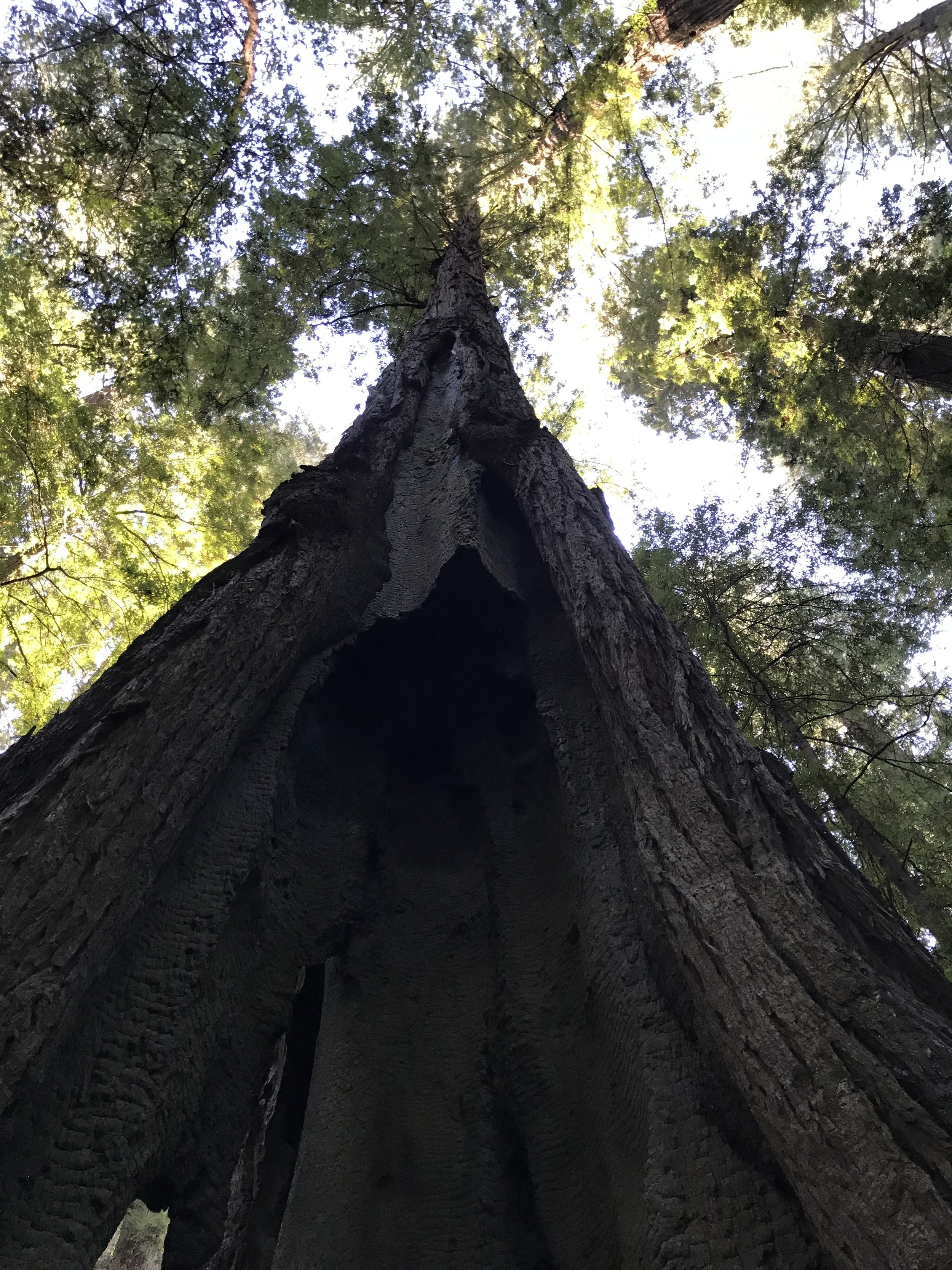 Hike Two: Rockefeller Grove in the same state park has some GIANTS too. Both of these are easy and flat loops!