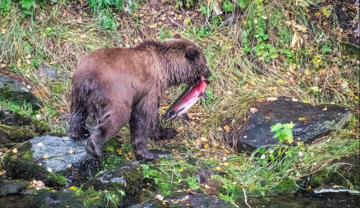 Chugach National Forest:  One of the coolest experiences I had this year was watching bears fish salmon out of the water. May not be my best photo, but it was one of the best moments!