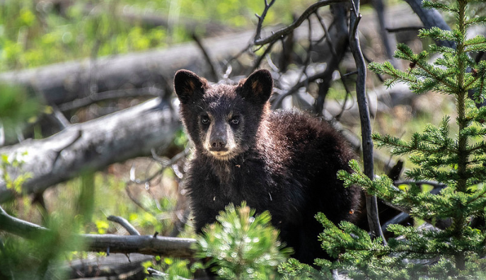 Baby bears abound, both black and grizzly roam in Yellowstone.