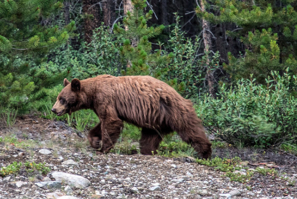 And yes like any good National Park in the Rockies the bear…and all forms of wildlife…are abundant! Seth captured this grizzly pic while there and always reminds you to be safe, leave no trace, and treat the animals and lands with the respect they deserve!