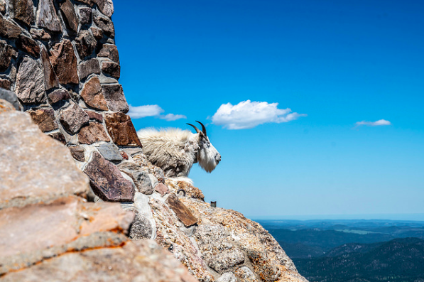 A small and isolated population of Rocky Mountain Goats has been rummaging around the Black HIlls for close to a century. Seth B was able to get pretty up close and personal with one in this photo!