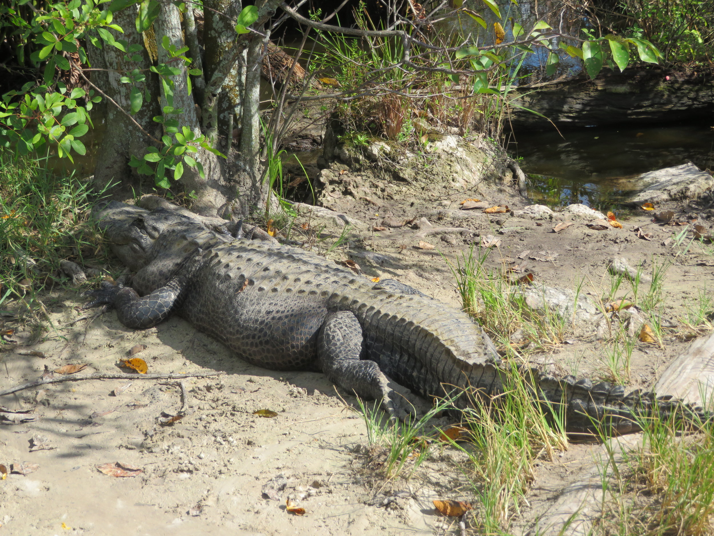 Don't worry…you WILL see gators in the Everglades!