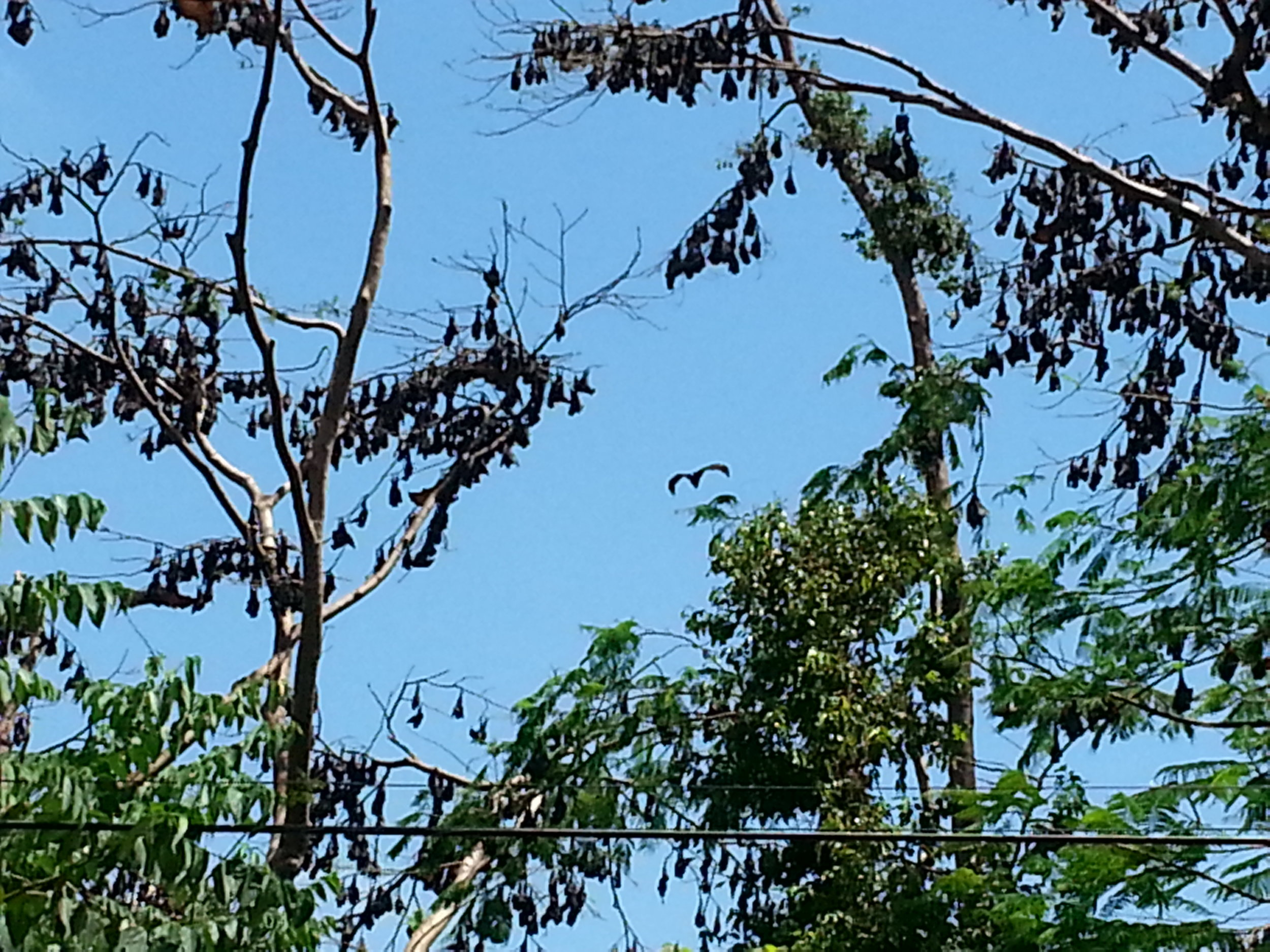 If you ever venture to Subic Bay you will have a hard time not seeing monkeys or these fruit bats, they are everywhere!