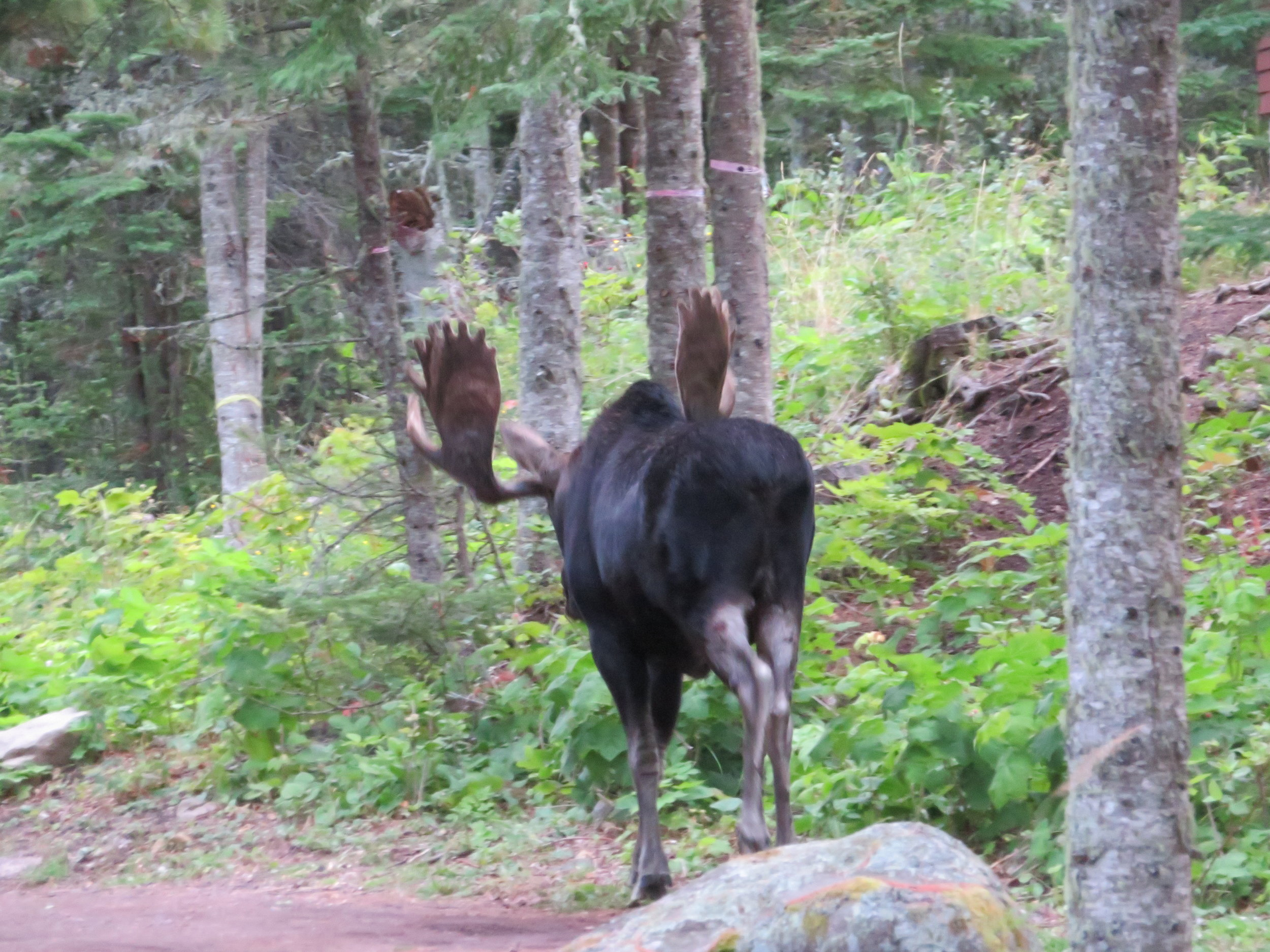 One of 14 buck moose located on the island. Wingspan of four feet on the antlers.