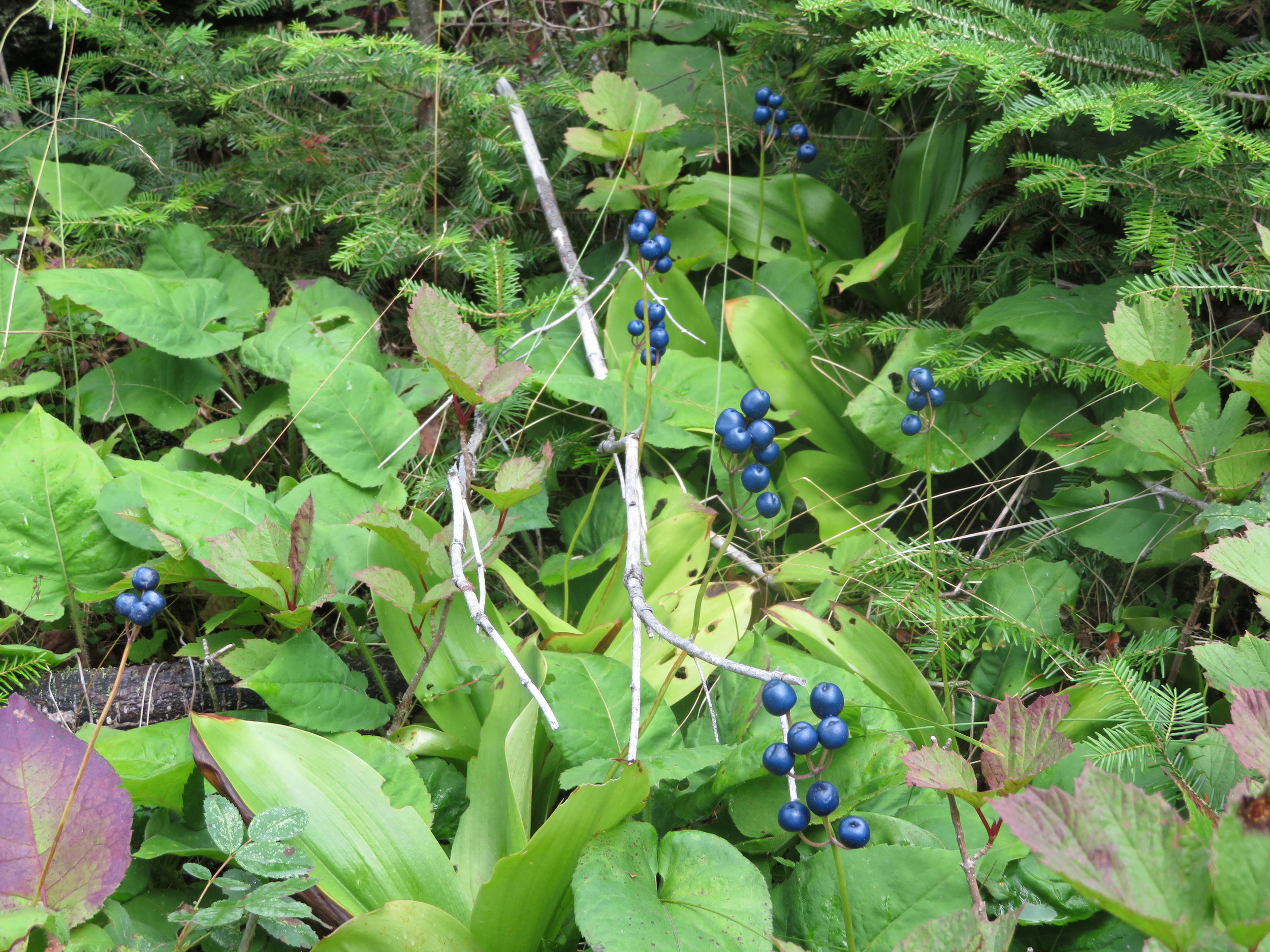 Blueberry bushes that were perfect for a hiker's treat as you went along the trails