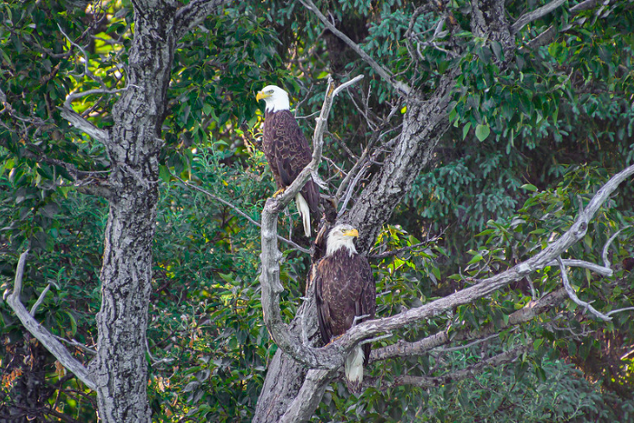 What a pair of capture of bald eagles by Seth B!