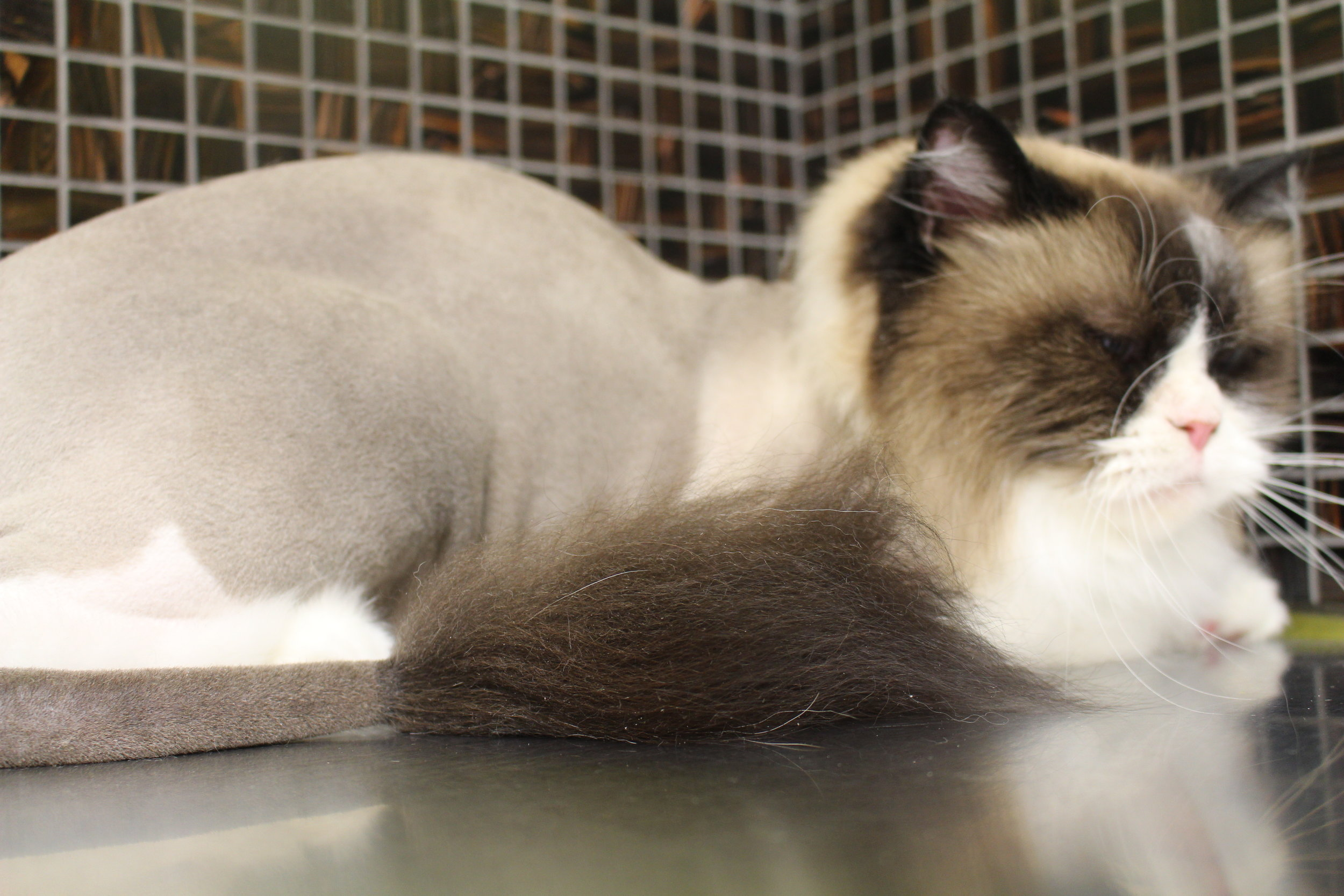 Check out this swanky lion cut! Have you been a little grumpy? Try a lion cut today.