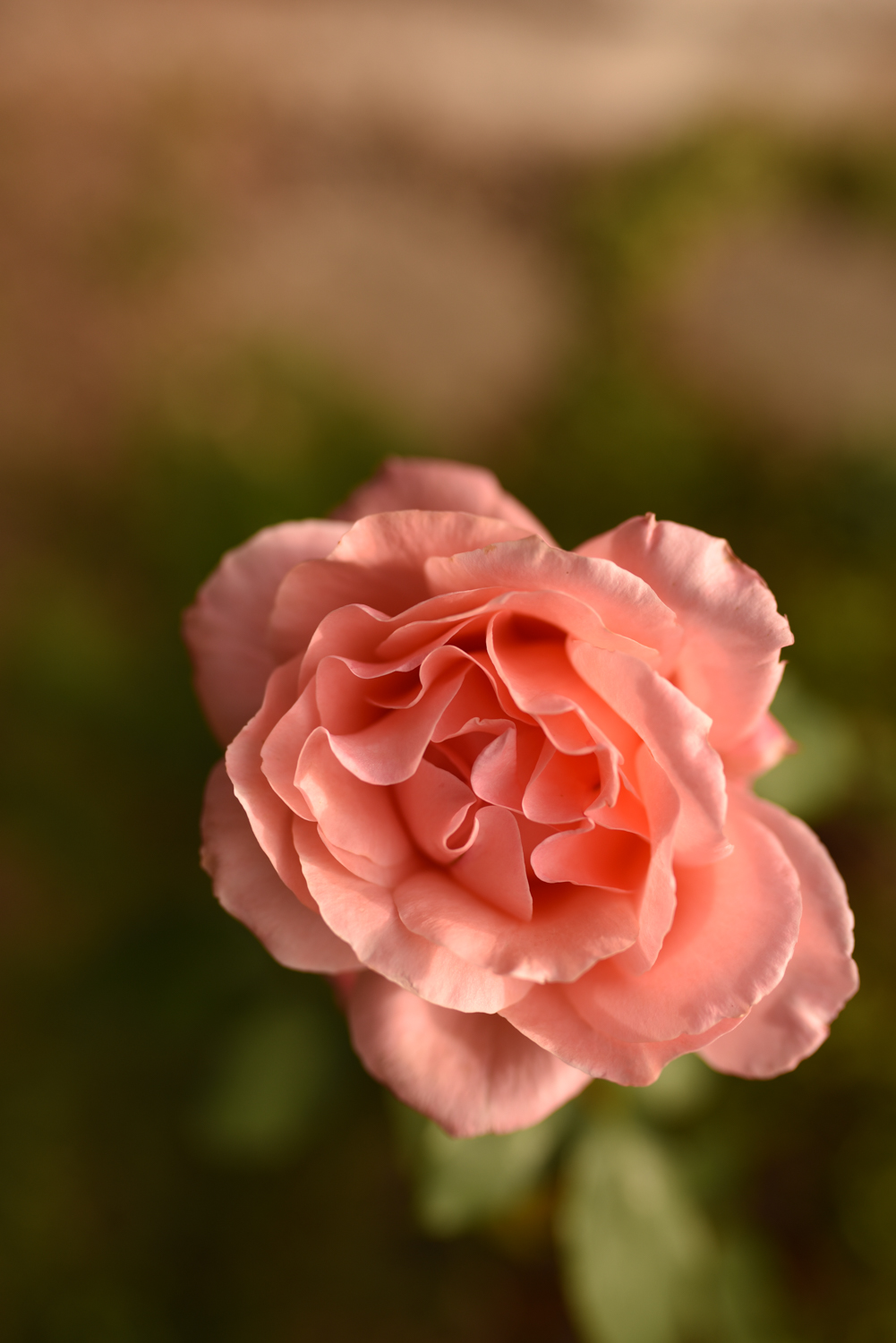 pink rose by hampshire photographer