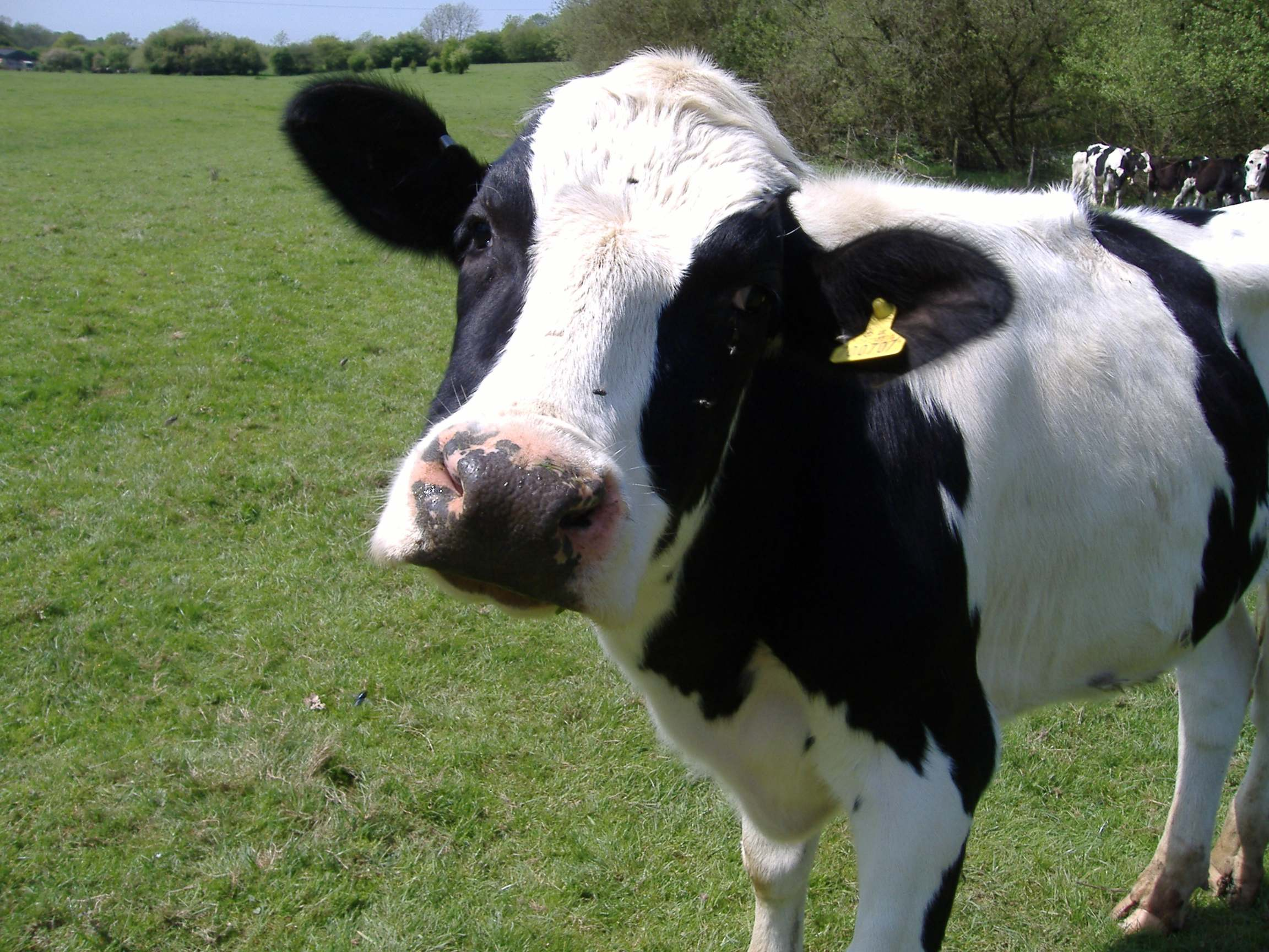 Cow poop could be the next big renewable energy source.