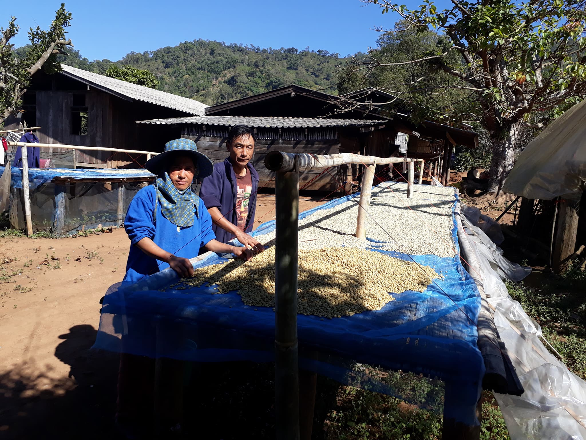 Tidaporn's parents drying the Aribica coffee beans