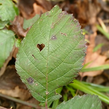 Heart shaped hole nibbled in a bramble leaflet