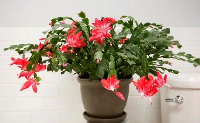 Christmas-cactus.jpg