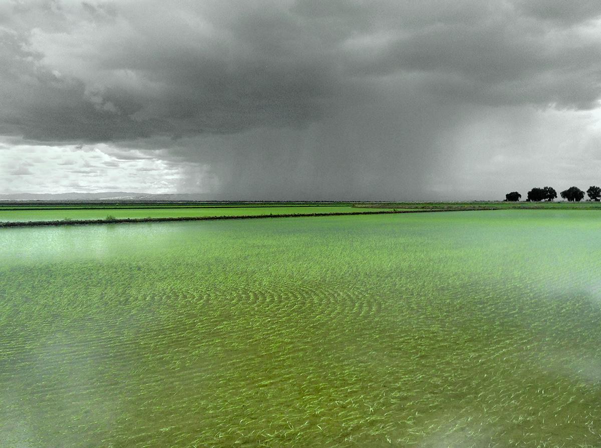 RICE AND RAIN, near Willows