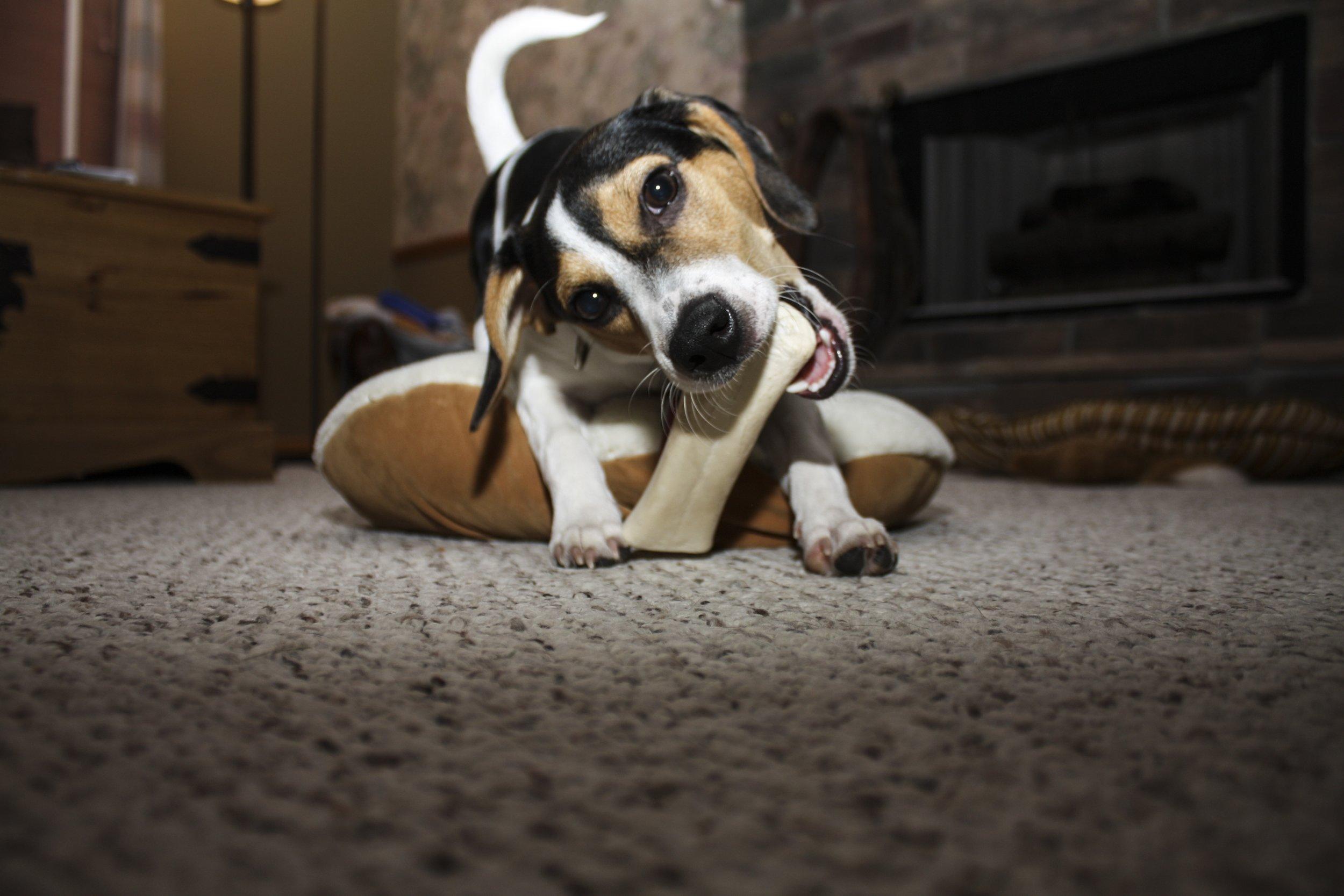puppy_chewing.jpg