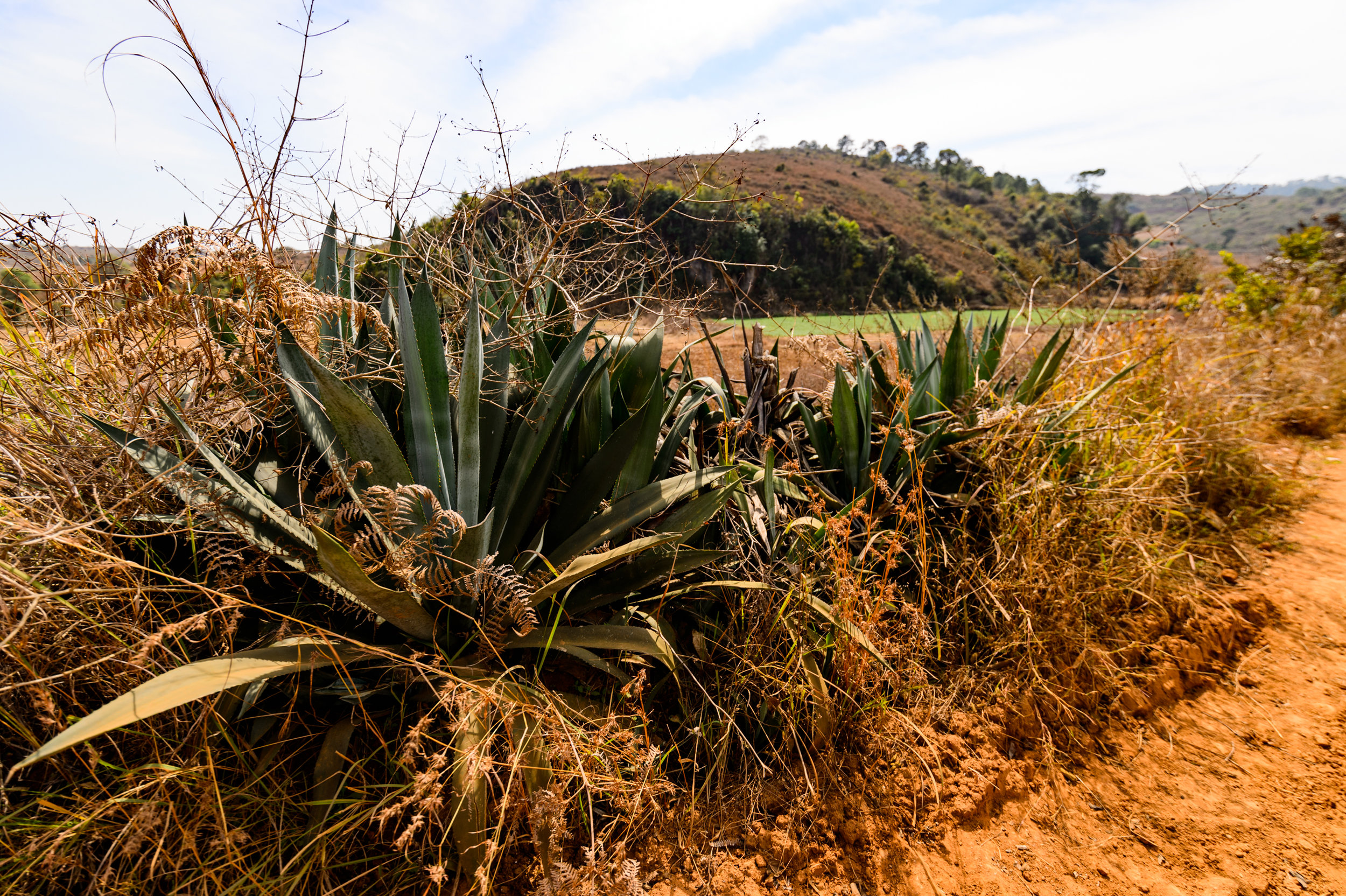 Myanmar the magical land of ...Agave? Yeah pretty much anything grows here it seems.
