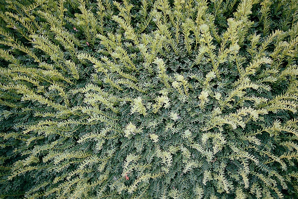2018-09-11-1941-kronberg hedge.jpg