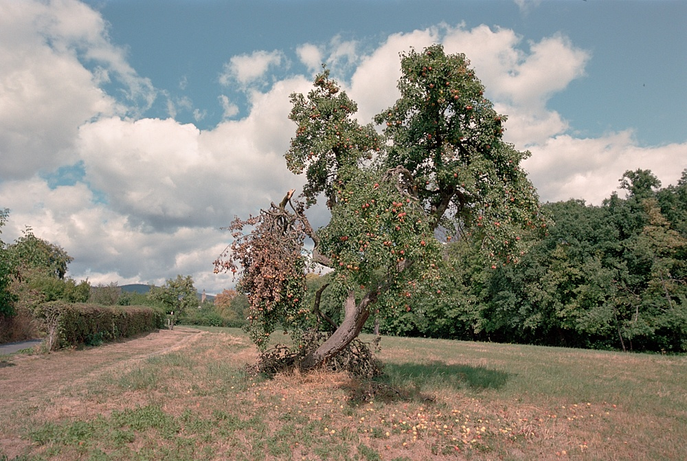 2018-09-30-1996-apple tree kronberg.jpg
