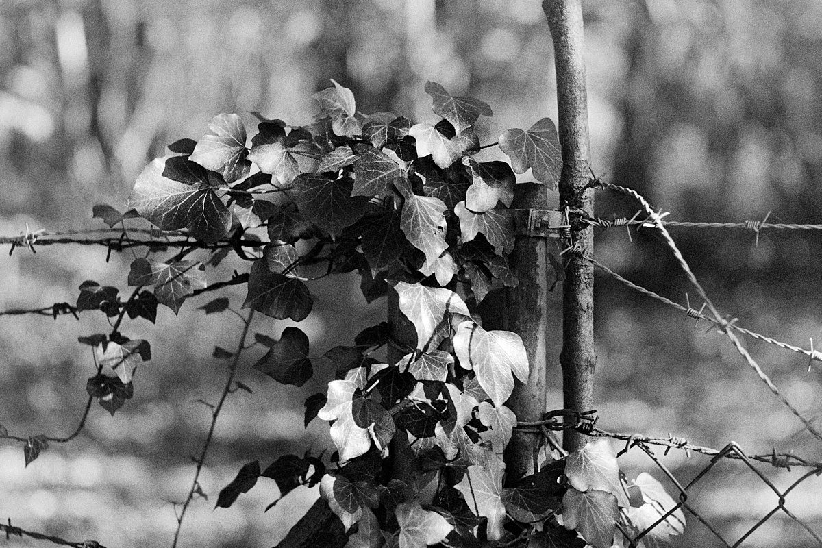 2018-11-19-2167-ivy trumps barbed wire.jpg