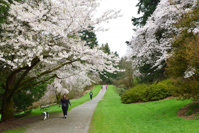Cherry blossoms at the Washington Park Arboretum. Photo:  University of Washington Botanical Gardens