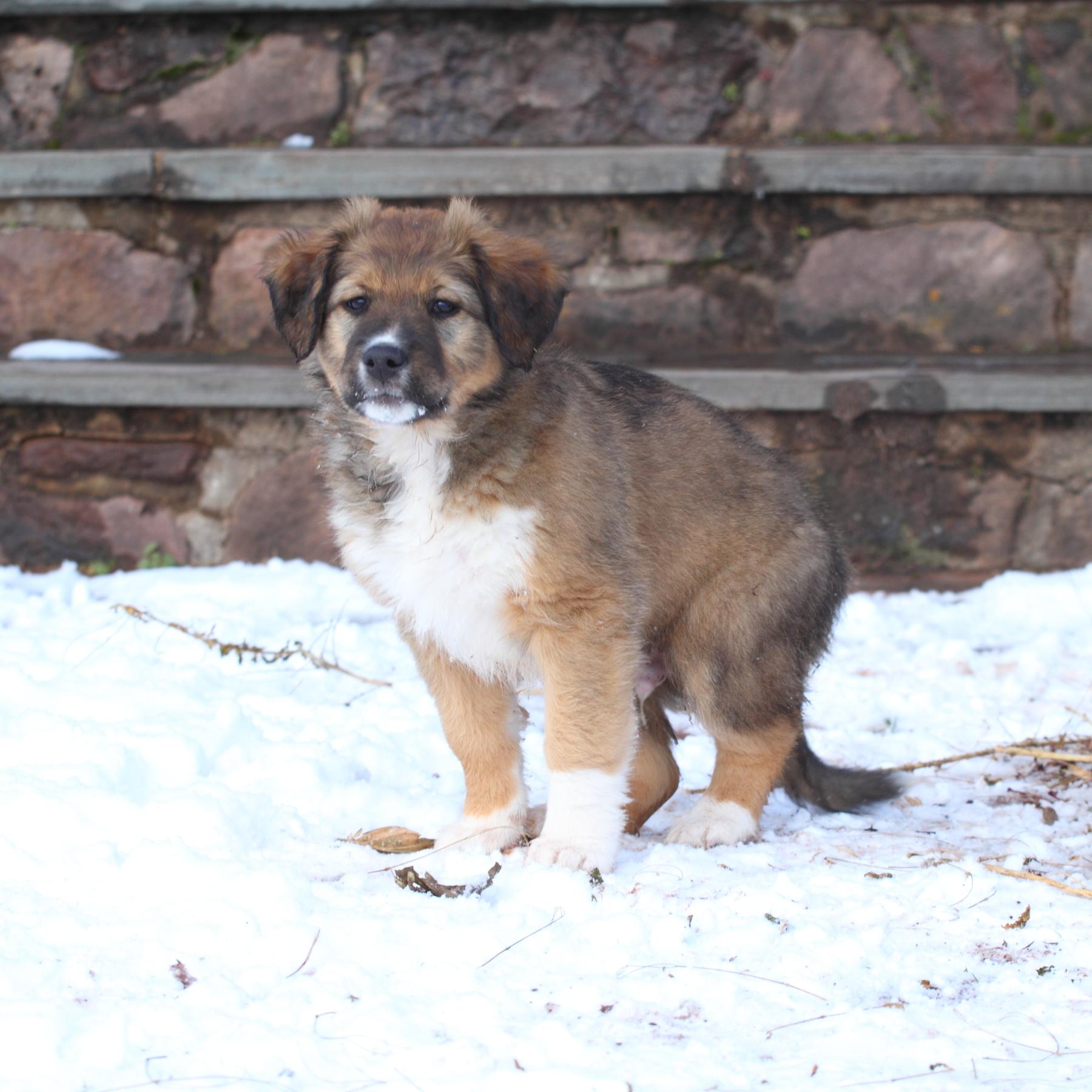 Puppy #4 Dark Sable & White English Shepherd.JPG