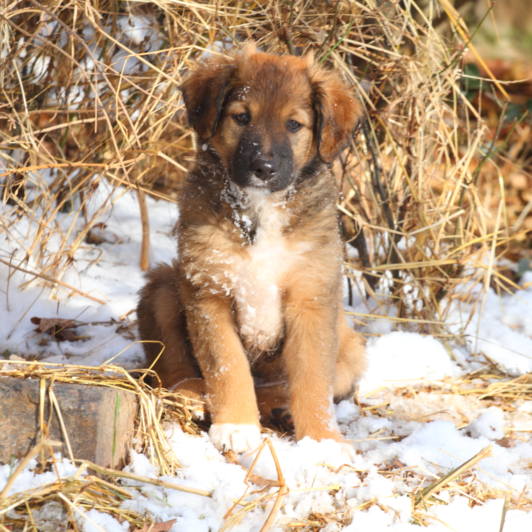 Puppy #5 Dark Sable English Shepherd.JPG