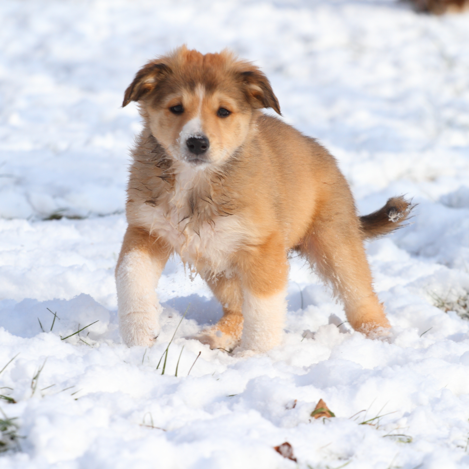 Puppy #7  Sable & White English Shepherd.JPG
