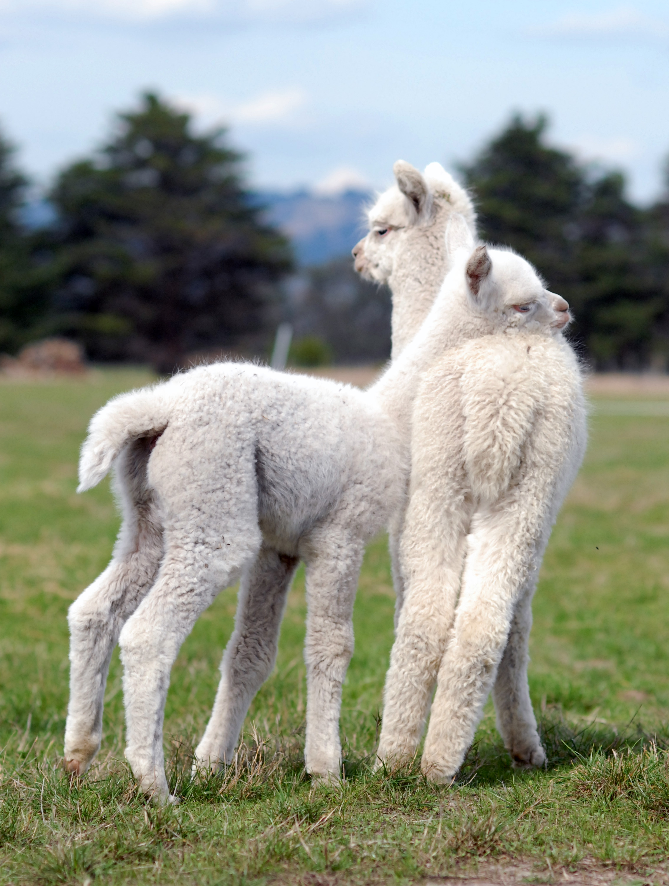 Nickelby Alpacas1.JPG