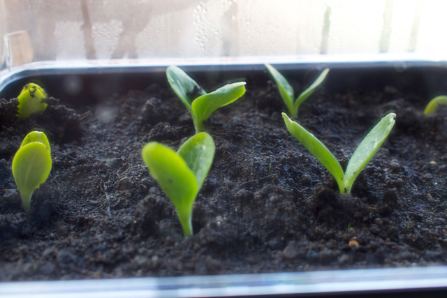 green-fingers-courgette