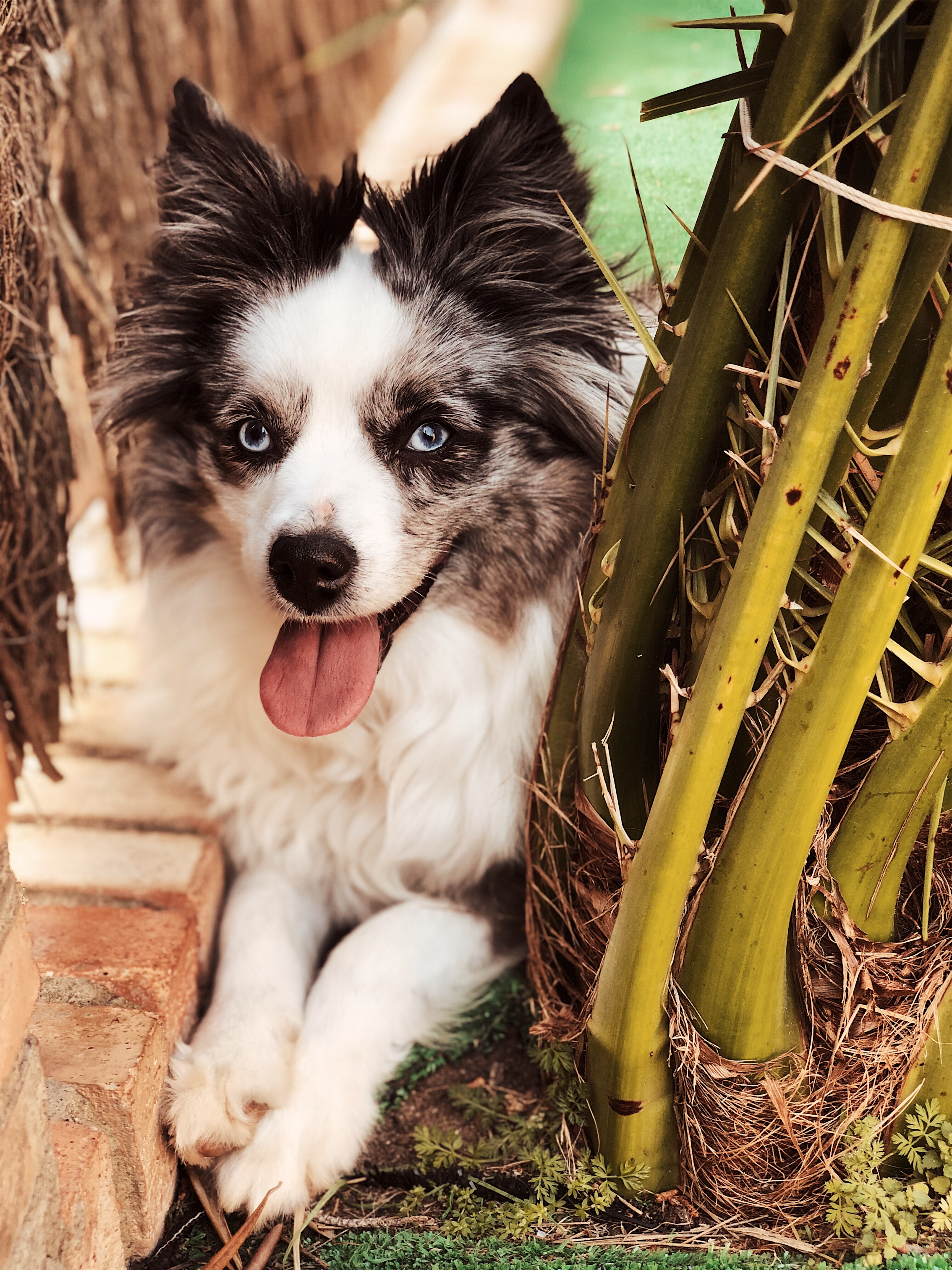 This is Coco, my blue merle toy Aussie shepherd. She now lives in Spain with my mom.