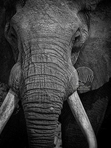 Bull Elphant.jpg