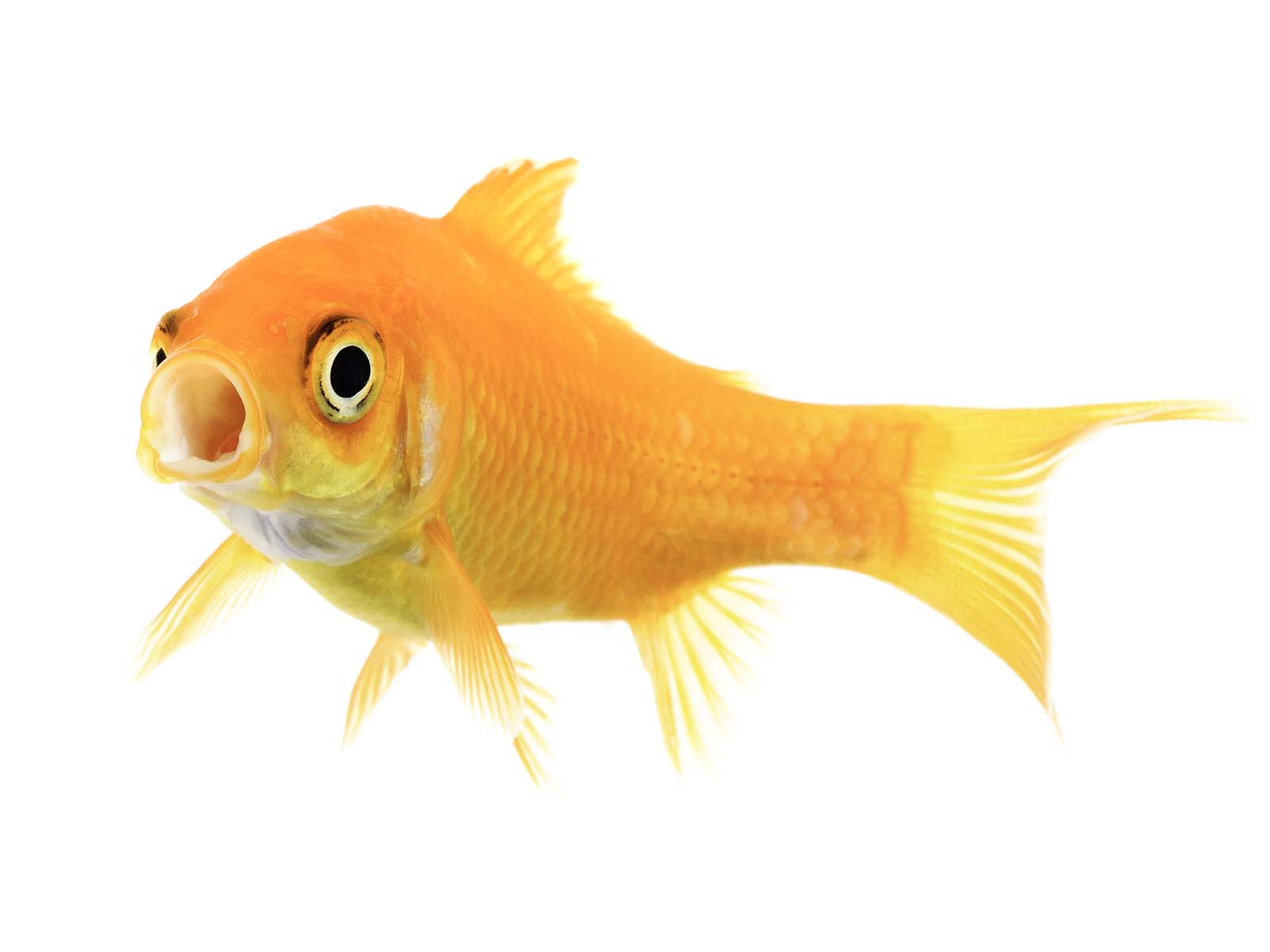 FitzSimmons_5_Goldfish.jpg