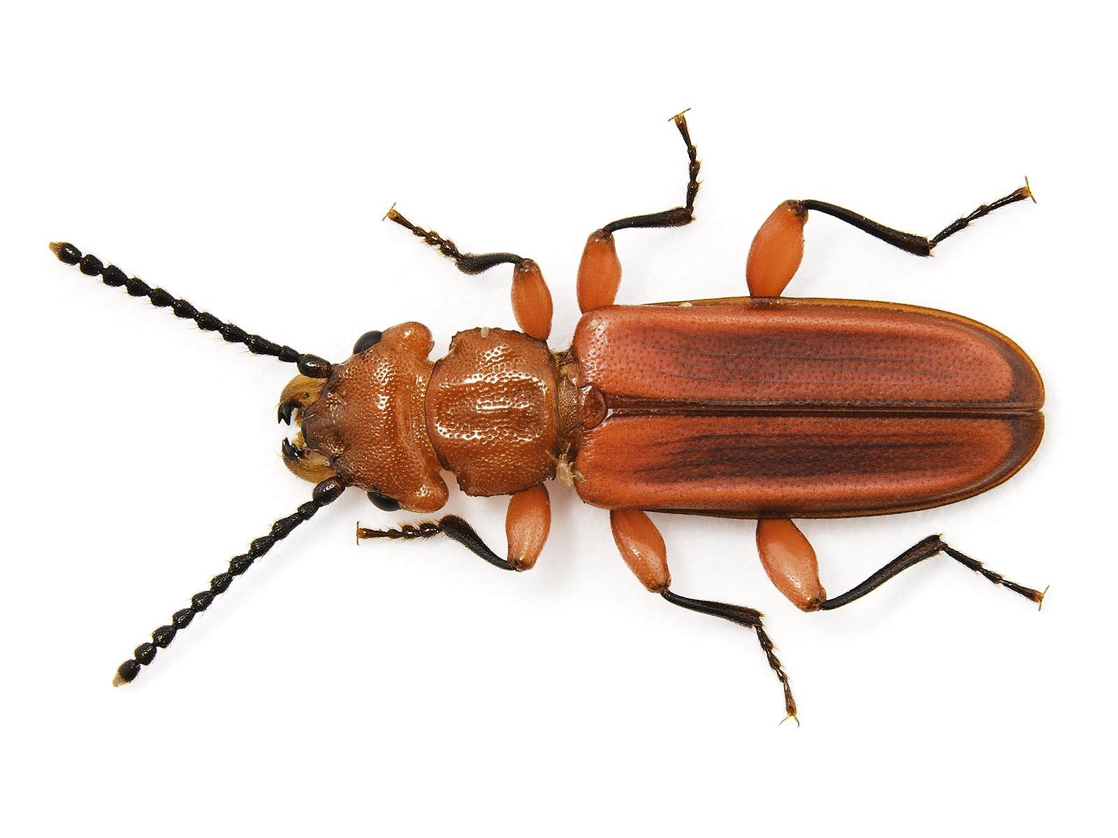 FitzSimmons_2_Red_Flat_Bark_Beetle.jpg