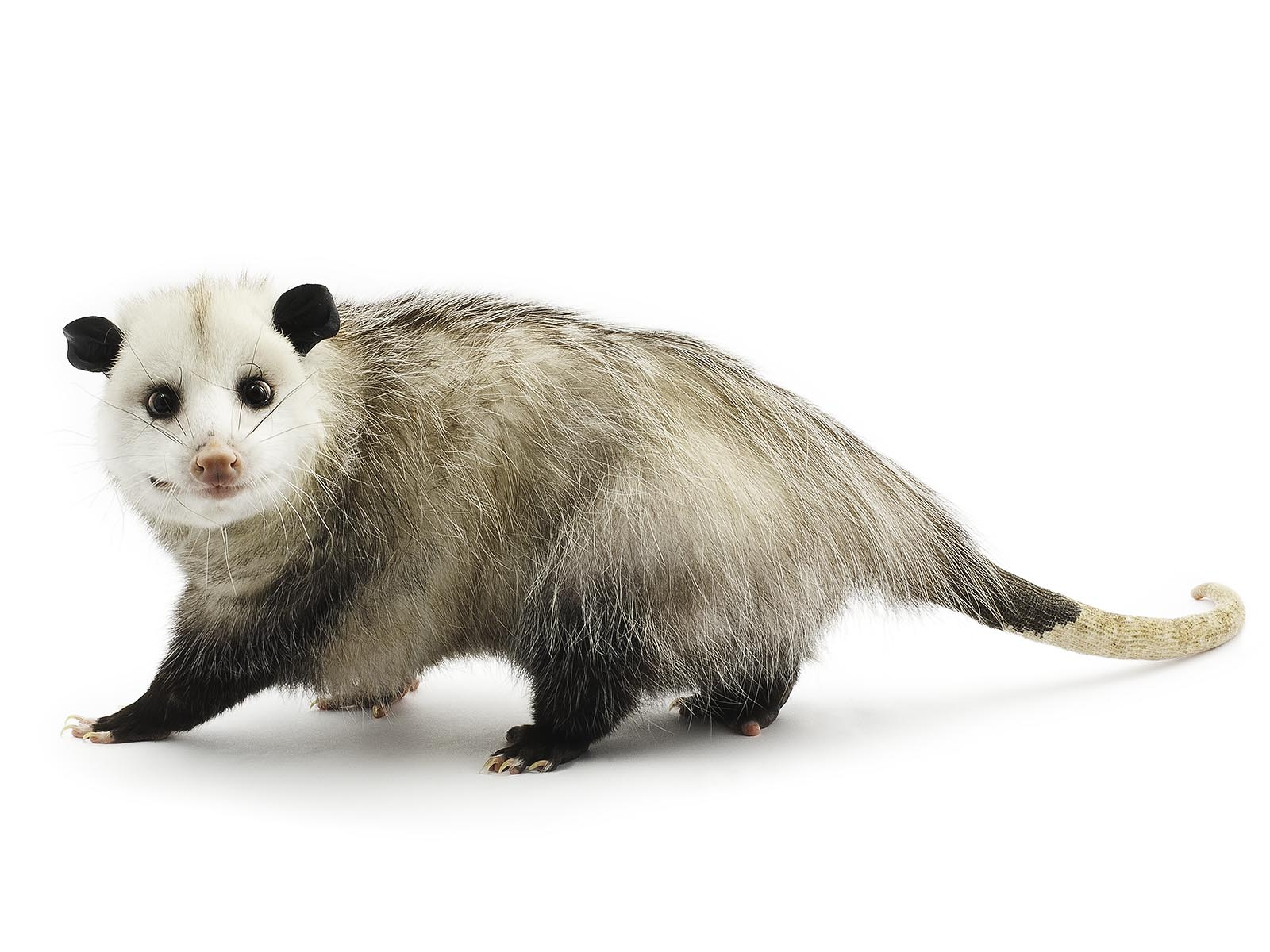 FitzSimmons_3_Virginia_Opossum.jpg