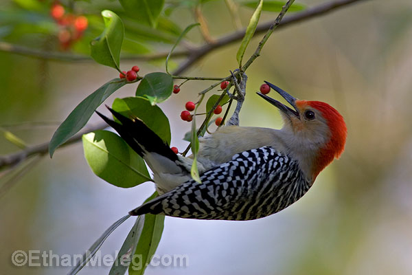 BI-Red-BelliedWoodpecker1-S2-EMELEG.jpg