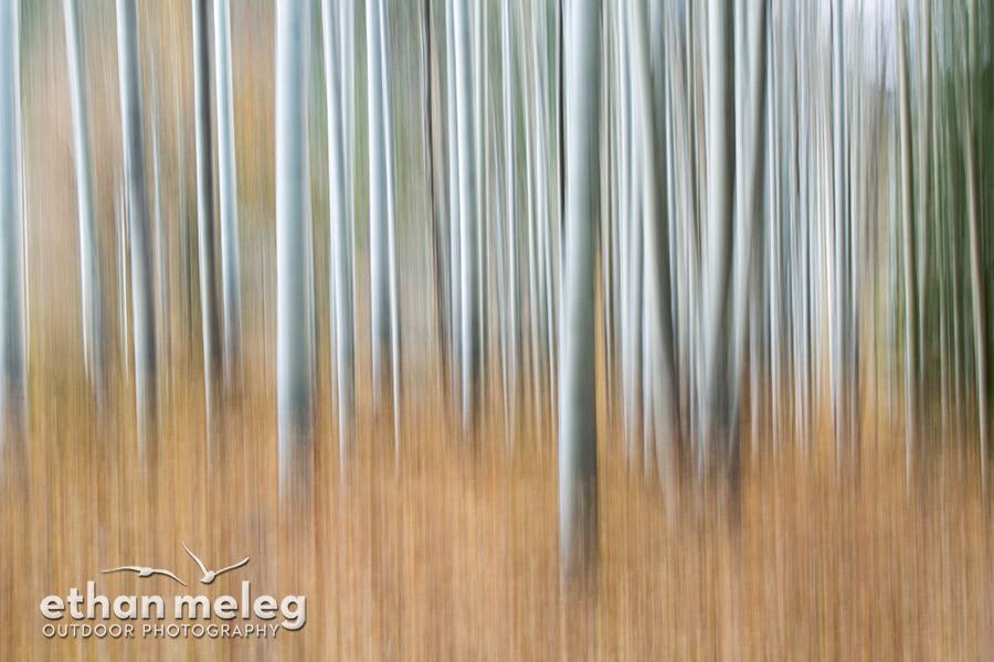 Aspens_blur_Chilcotin-BC_EMELEG_M155216.jpg