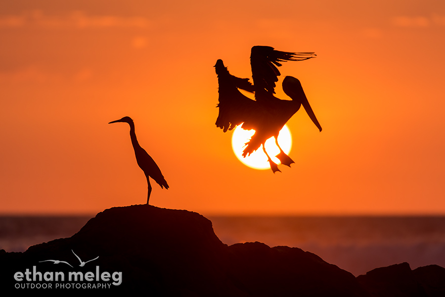 CR_Pelican-Egret-Sunset_EMELEG_DX_4054.jpg