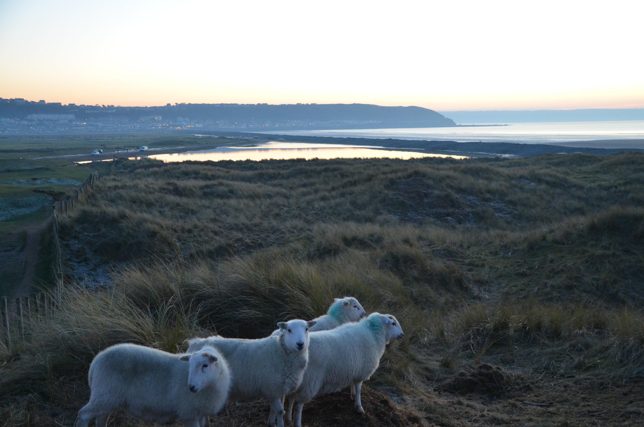 Sheep wander over the burrows at Royal North Devon Golf Club