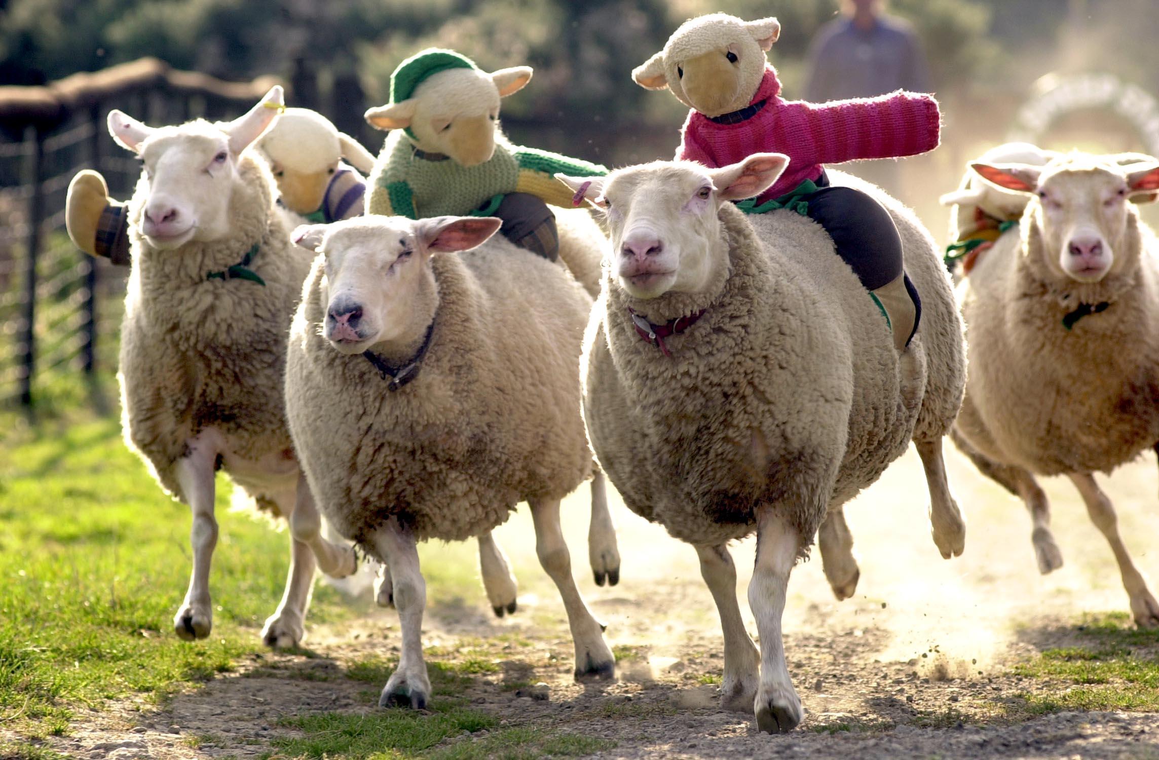 Sheep racing at The Big Sheep