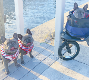 Balou Blue Blog  Therapy Dog  Frenchie Breeder  French Bulldog
