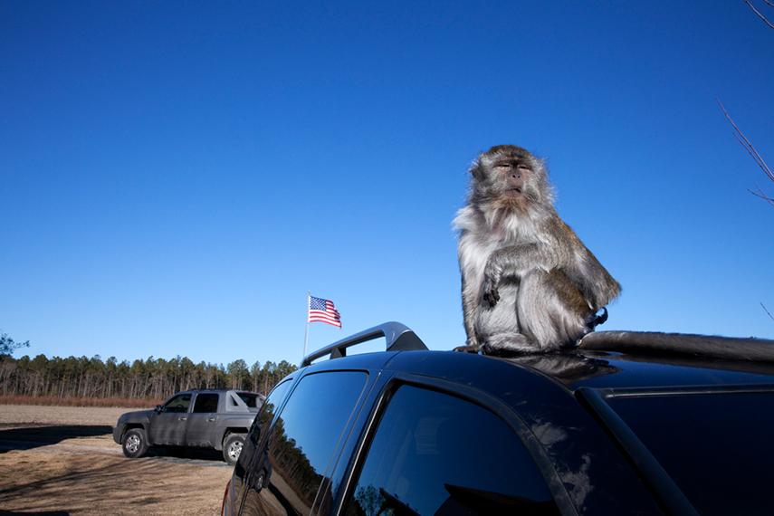 Darla, a Macaque. Onancock, VA