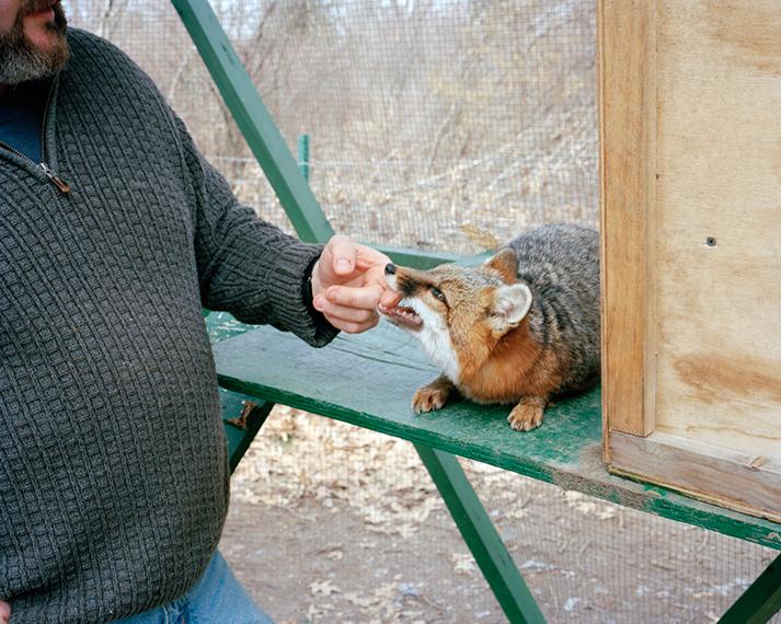 Gray Fox. Littleton, MA