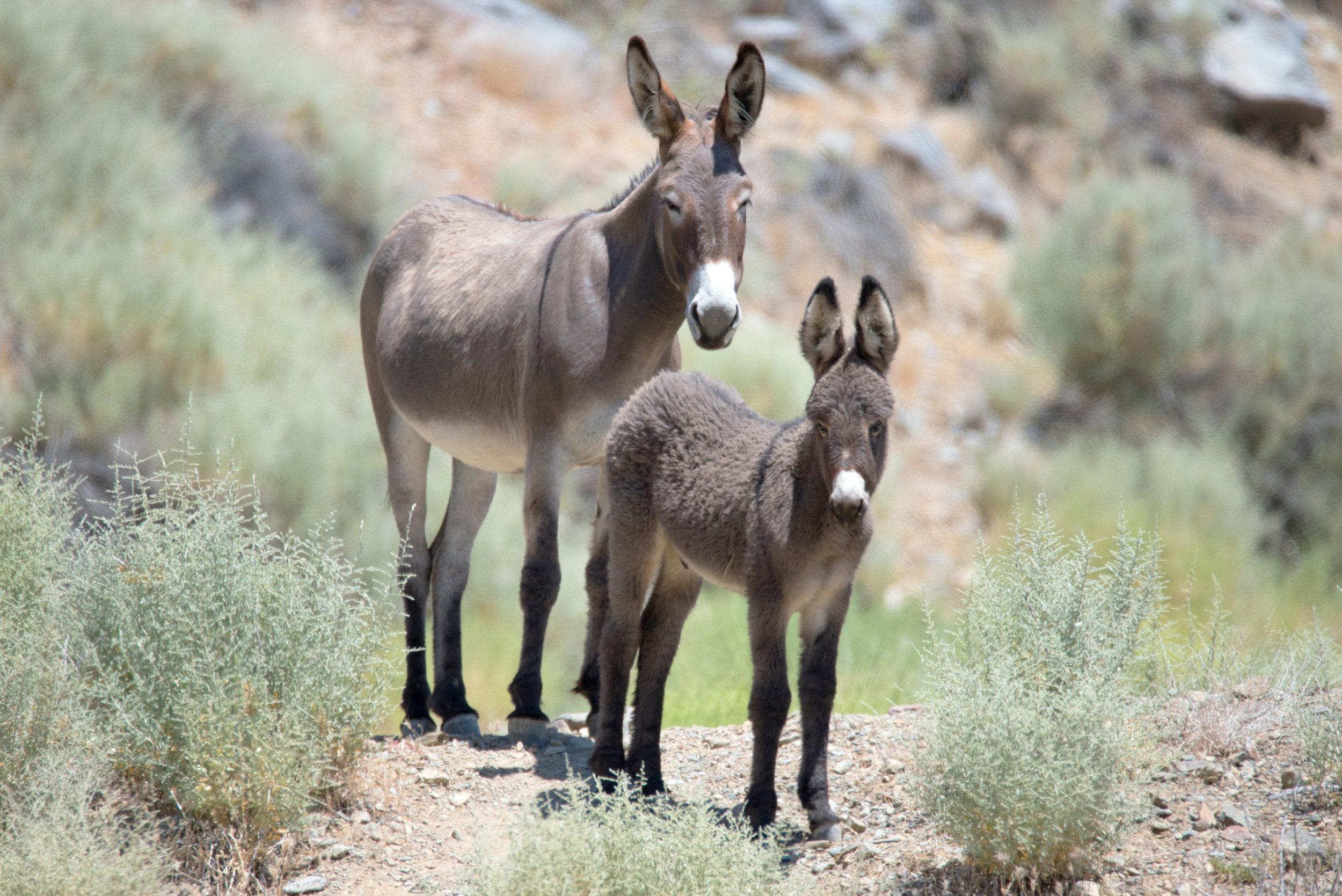 20170623_30_Trip_Death_Valley_Feral_Donkeys_Rhyolite-Ghost-Town_Night_007.jpg