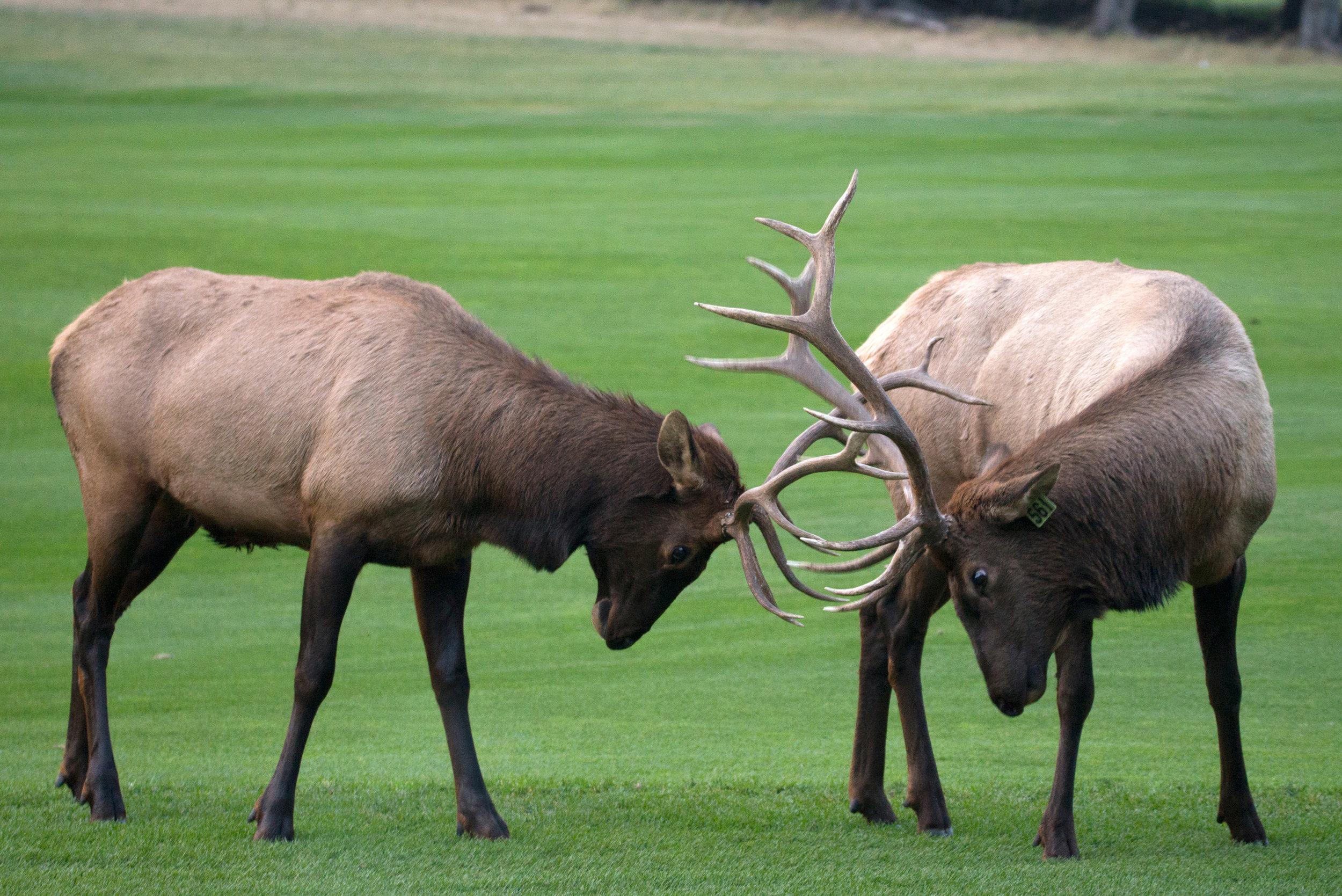 20170917_Banff_Springs_Dinner_Golf_Elk_141_s.jpg