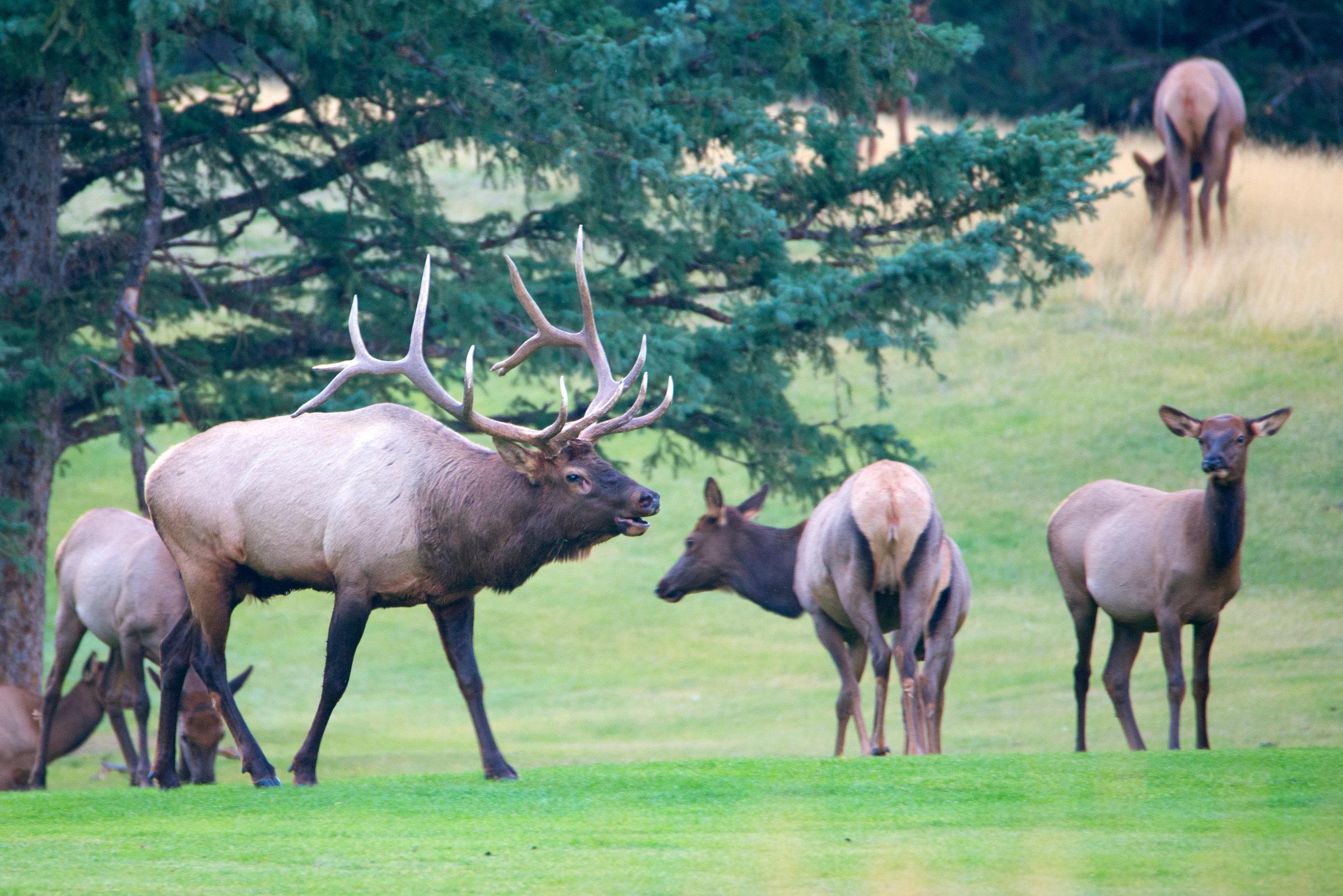 20170917_Banff_Springs_Dinner_Golf_Elk_065_s.jpg